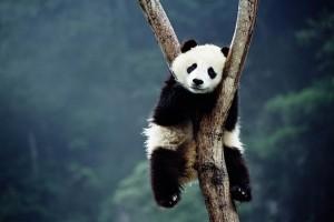 wolong-panda-tree_672173n